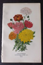 Step 1896 Antique Botanical Print. Chrysanthemums 149